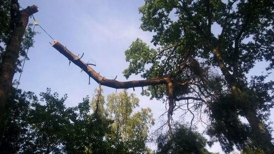 Tree surgery on an oak tree